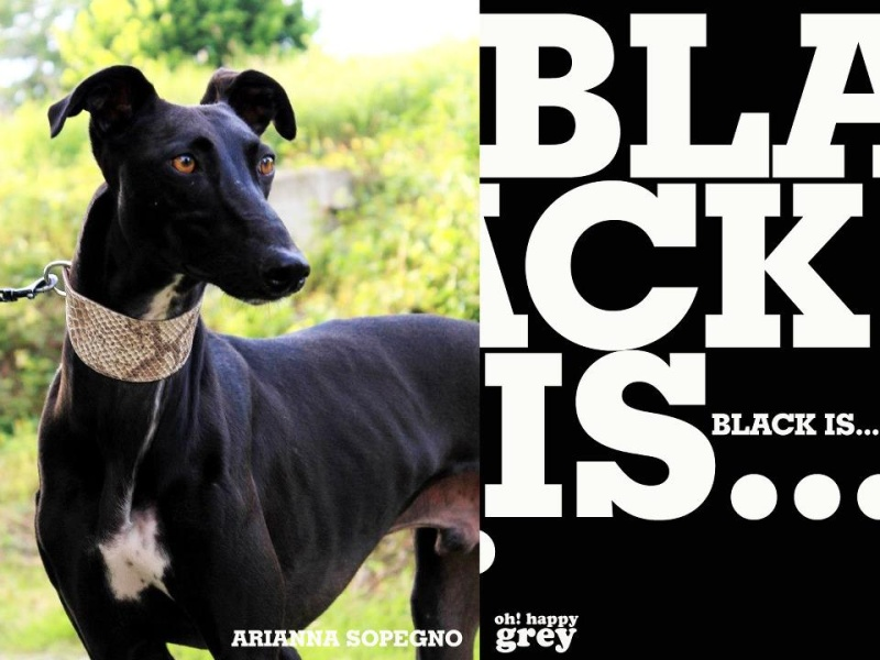 Leone, galgo noir plastron blanc, 5 ans. Blacki11