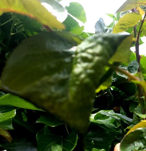 alerte limaces, escargots et autres ennemis des plantes 20160440