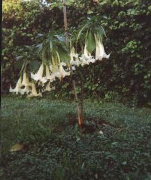 Brugmansia - le genre Brugma10