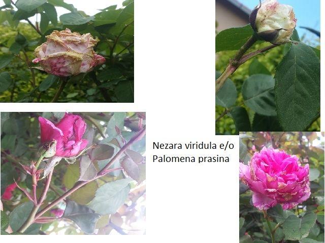 alerte limaces, escargots et autres ennemis des plantes - Page 2 Cimice11