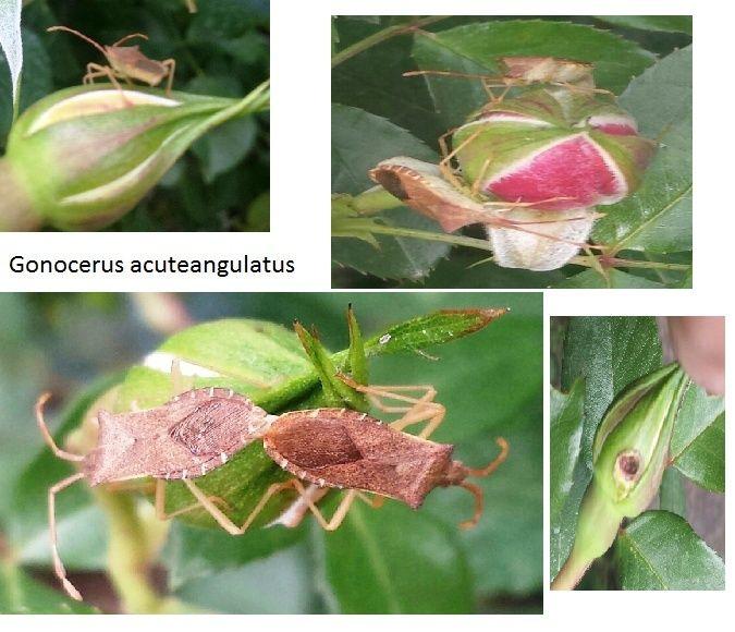 alerte limaces, escargots et autres ennemis des plantes - Page 2 Gonoce10