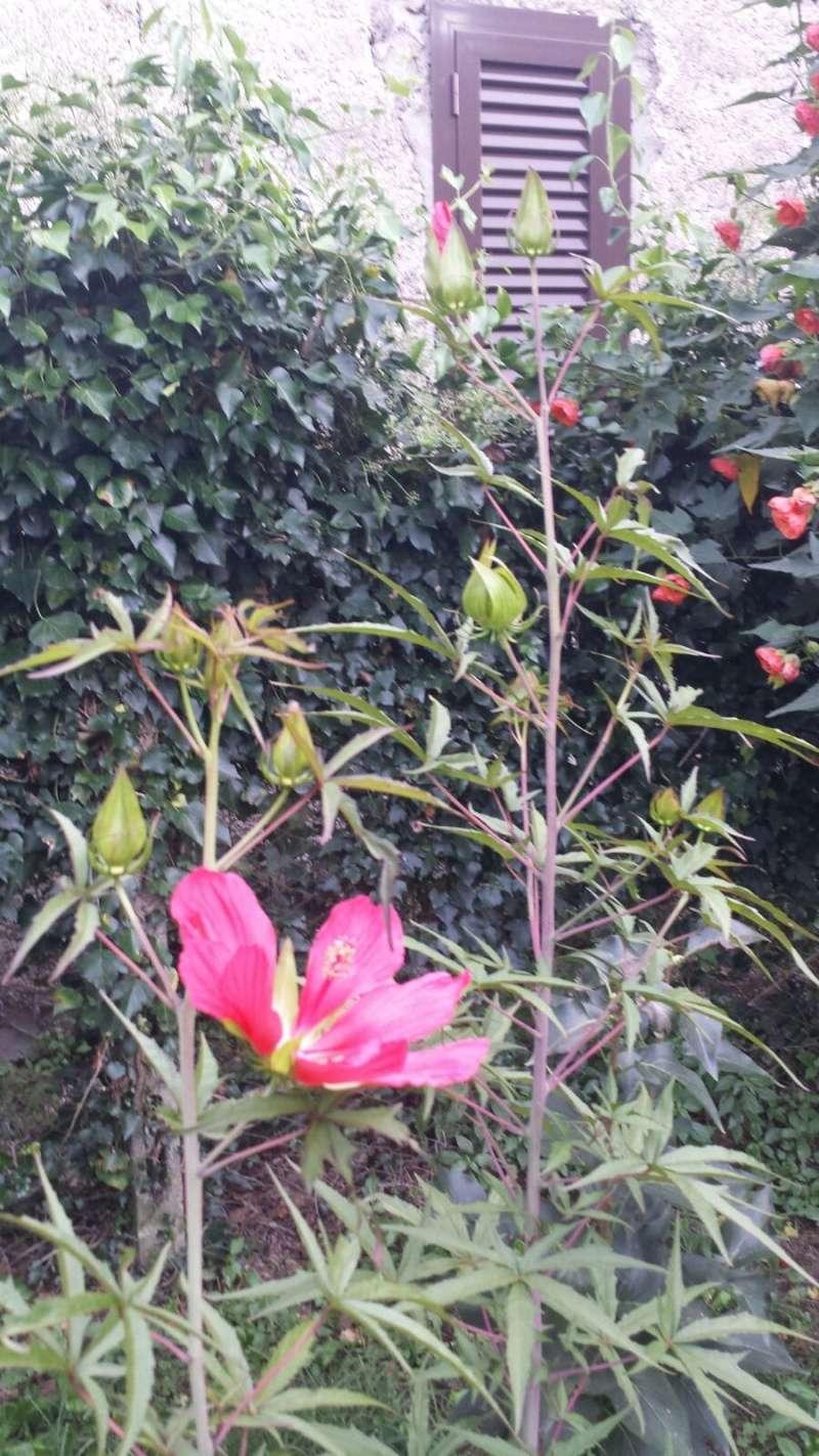 Hibiscus coccineus - Page 2 Img-2010