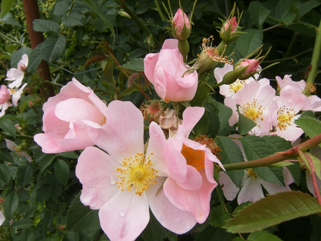Rosa canina (groupe) - églantier, rosier des chiens  Rosa_s12