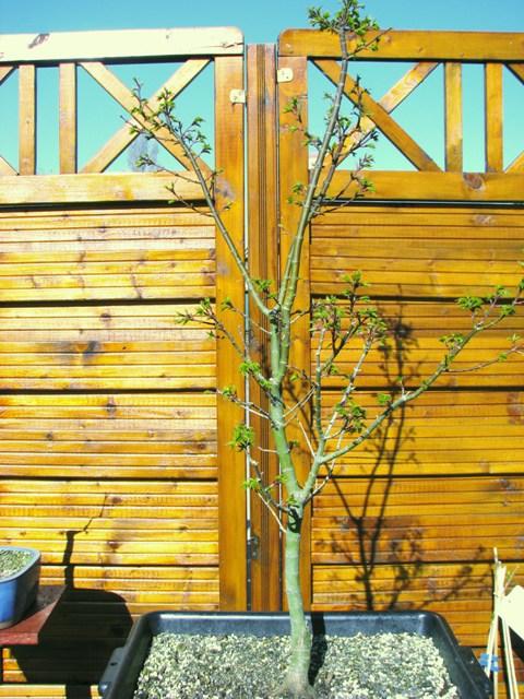 plant acer shishigashira pour formation en bonsai - Page 2 Img_1710