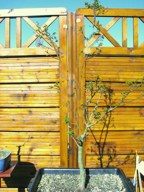 plant acer shishigashira pour formation en bonsai - Page 2 Img_1711
