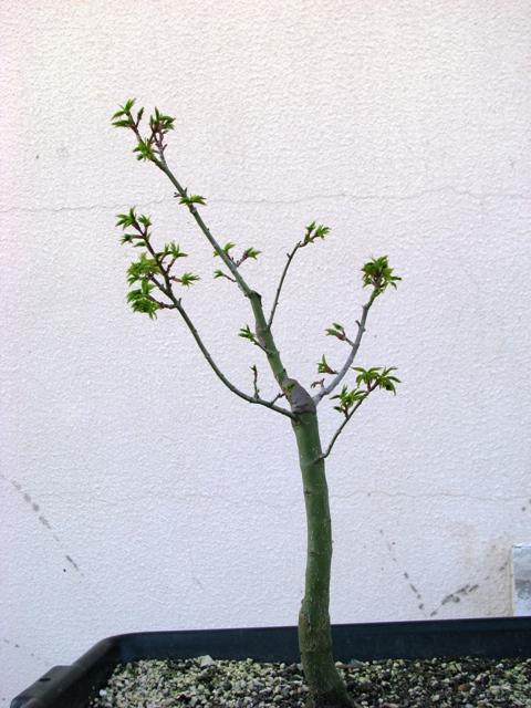 plant acer shishigashira pour formation en bonsai - Page 2 Img_1712