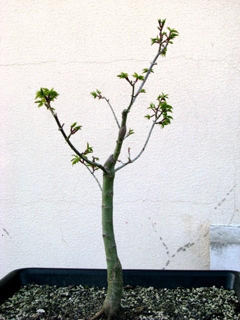 plant acer shishigashira pour formation en bonsai - Page 2 Img_1714