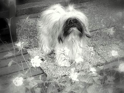 Buffalo shihtzu male Collag13