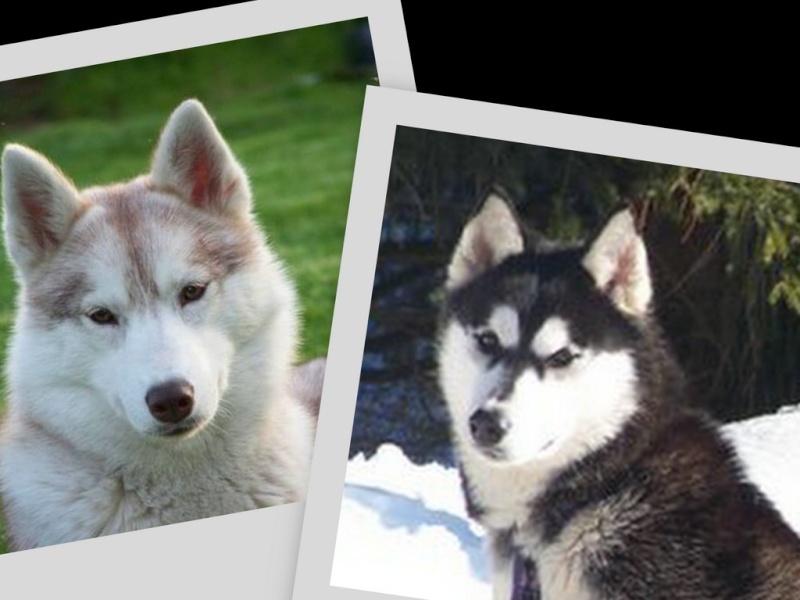 les petits husky de ma Satin Collag10