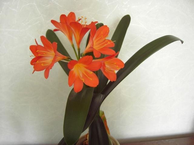 Clivia plante increvable Clivia10