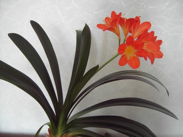 Clivia plante increvable Clivia11