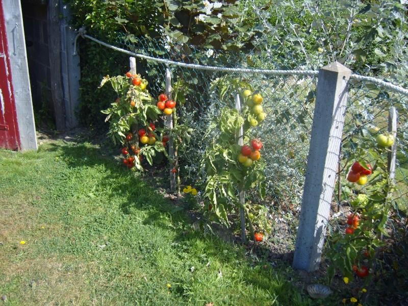 toujours des tomates ! Fleurs25