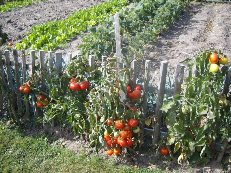 toujours des tomates ! Fleurs26