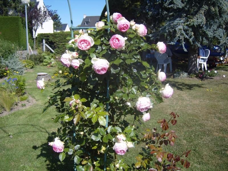 mon rosier POLKA Ronsar10
