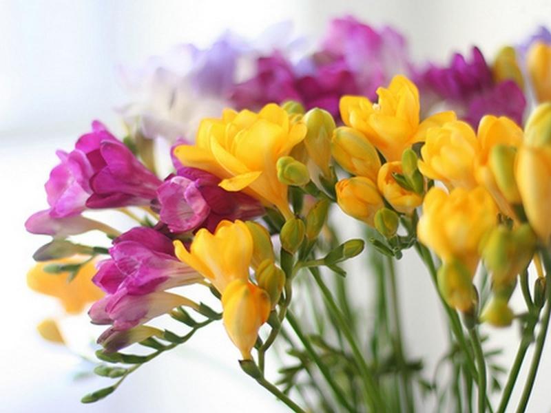 Fleurs du moment - Page 12 Freesi10