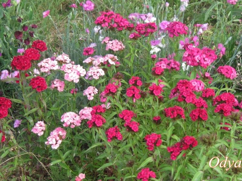 Fleurs du moment - Page 14 Oeille10