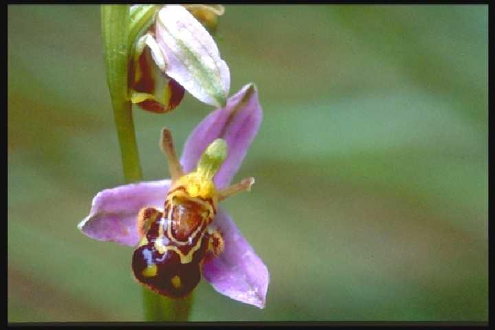 Fleurs du moment - Page 14 Orchis10