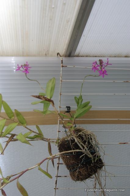 Serre chaude pour orchidées (projet 2015) - Page 3 Imgp7139