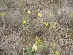 Iris lutescens - iris des garrigues, iris jaunâtre Dscn5512