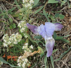 Iris lutescens - iris des garrigues, iris jaunâtre Dscn5527