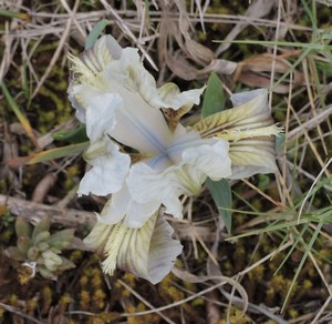 Iris lutescens - iris des garrigues, iris jaunâtre Dscn5529