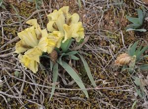 Iris lutescens - iris des garrigues, iris jaunâtre Dscn5536