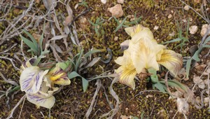 Iris lutescens - iris des garrigues, iris jaunâtre Dscn5538