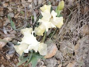 Iris lutescens - iris des garrigues, iris jaunâtre Dscn5559