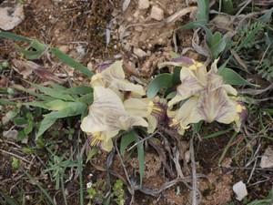 Iris lutescens - iris des garrigues, iris jaunâtre Dscn5564