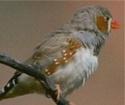 Le mandarin un oiseau Mandar10