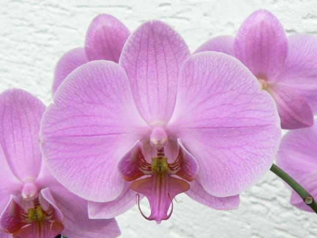 quelques photos de mes orchidées - Page 3 28_aou10