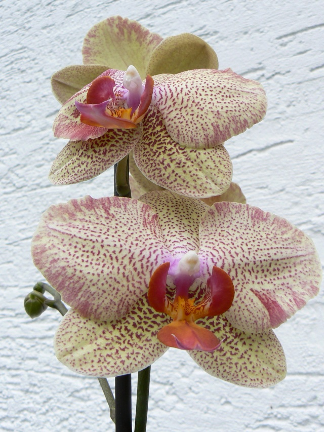 quelques photos de mes orchidées - Page 3 28_aou11