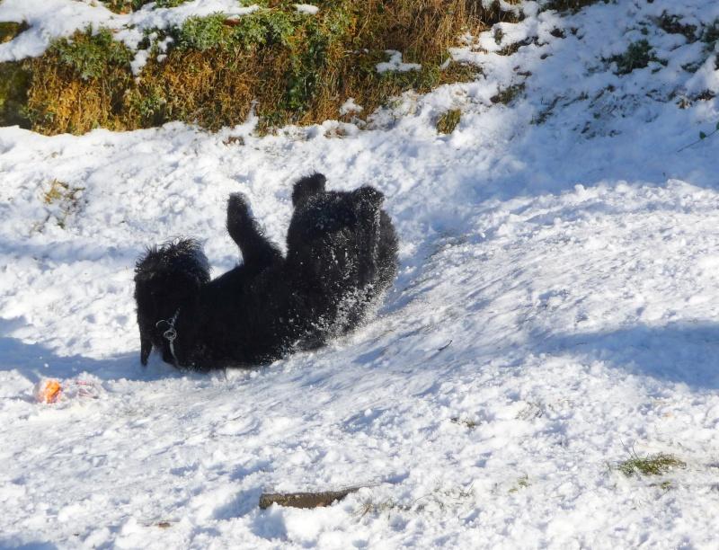 Nouveau CONCOURS PHOTOS: Un Schnauzer en hiver - Page 2 Candic11