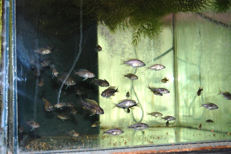 bourse Club Aquariophile de Champ-Le-Boeuf Dsc_1131