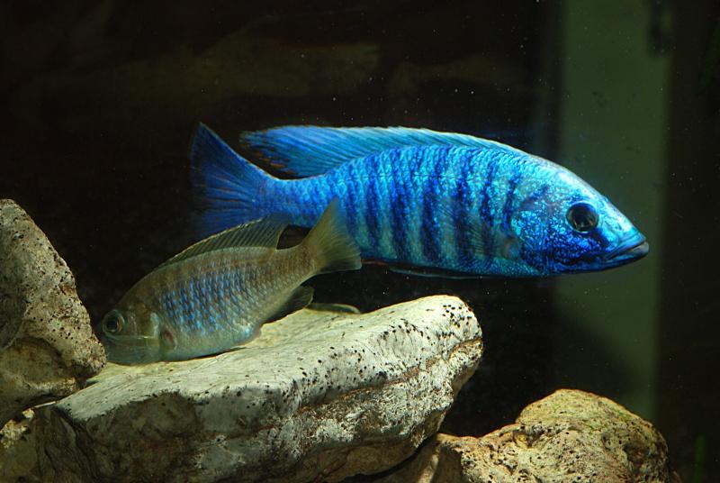 scianochromis fryeri Sciaan10