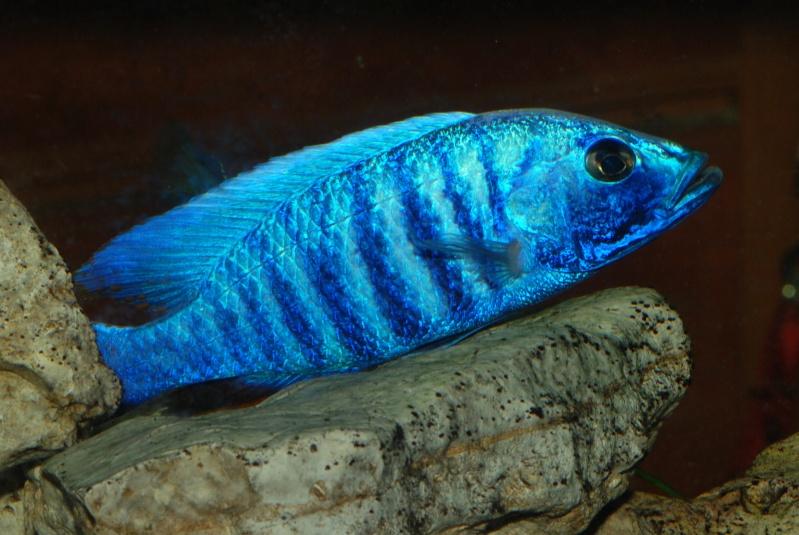 scianochromis fryeri Sciano11