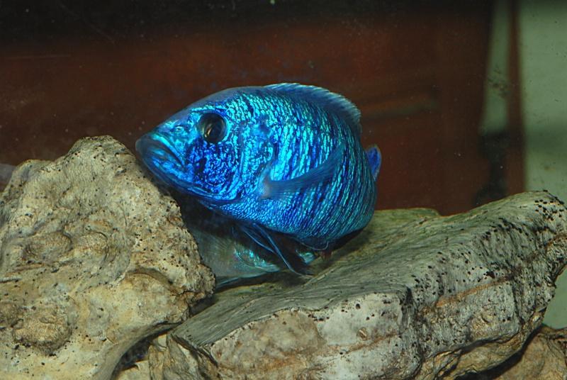 scianochromis fryeri Sciano12