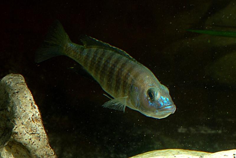 scianochromis fryeri Sciano13