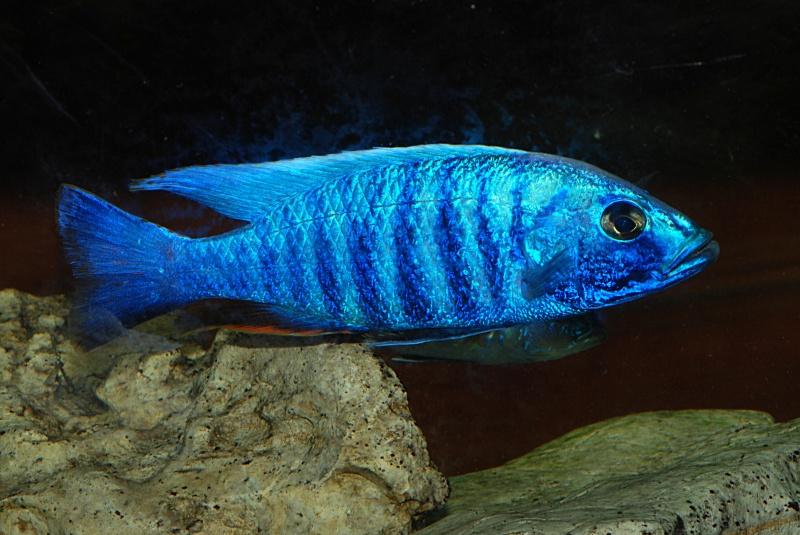 scianochromis fryeri Sciano14
