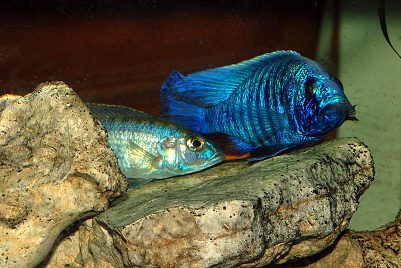 scianochromis fryeri Sciano15