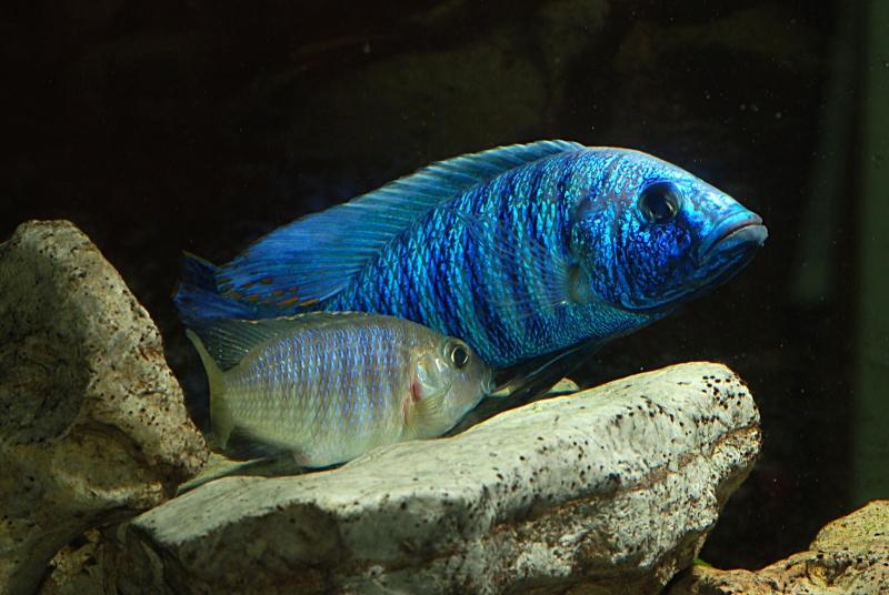 scianochromis fryeri Sciano16