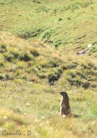 Marmottes Marmot17