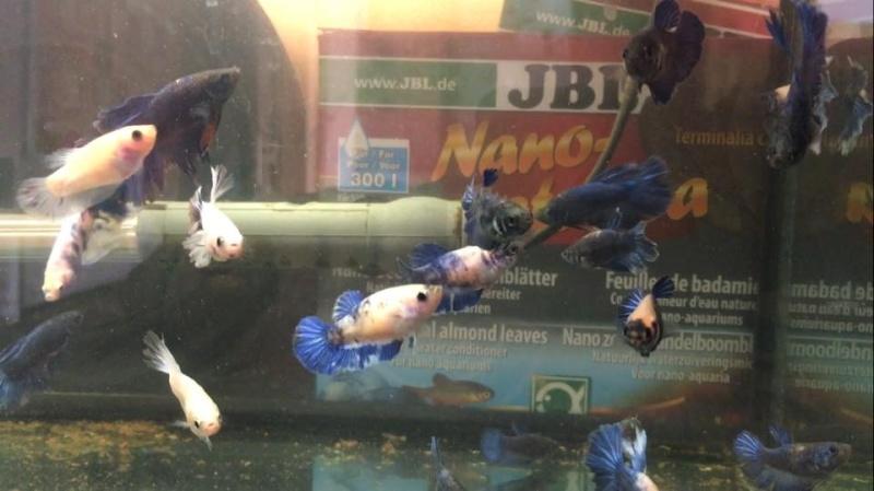naissance Halfmoons bleus et blancs papillons Image_10