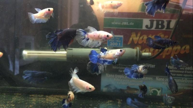 naissance Halfmoons bleus et blancs papillons Image_11