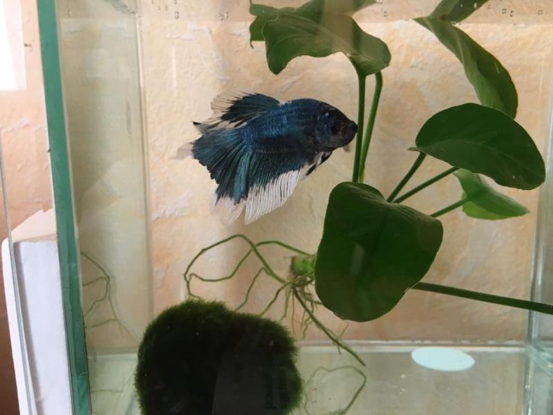 naissance Halfmoons bleus et blancs papillons Le_pap10