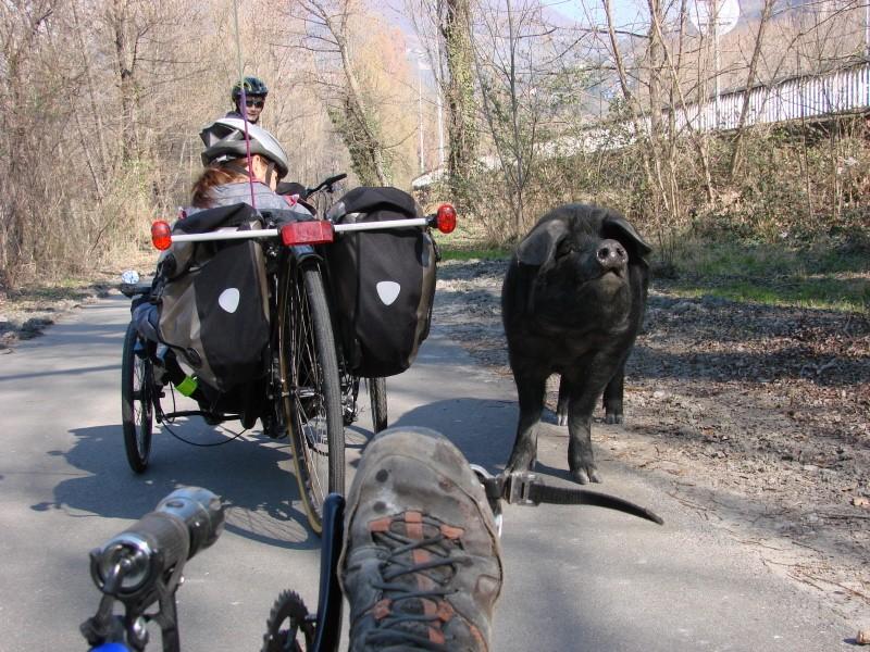 Animaux croisés sur la route pendant vos sorties en VH Cochon10