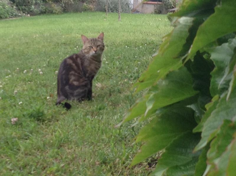 Trouvé à Tournefeuille (La Ramée) chat tigré Img_0111