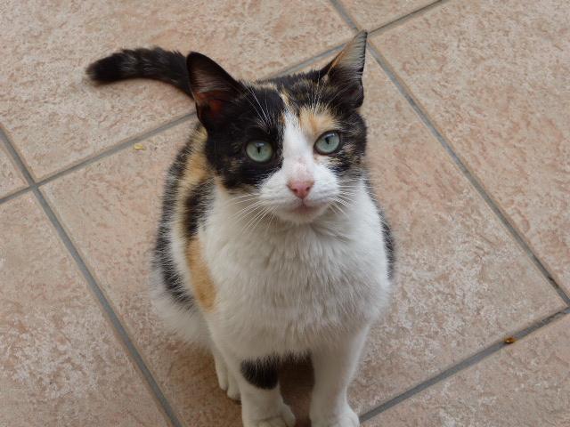 Trouvée chatte isabelle à Colomiers P1010610