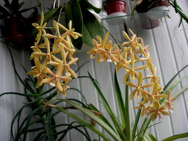 Phalaenopsis Bronze Maiden : comparatif Dscn2310