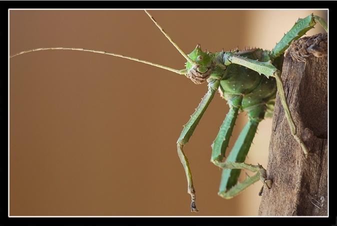 Heteropteryx dilatata (PSG 018) Hd_f_l10